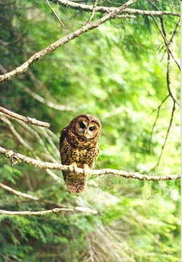 spotted owls essay Save the owls essay  if the cutting of forests at this rate remains constant, the spotted owls will disappear within the ten years along with the our forests.